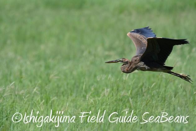 8月2日石垣島 バードウオッチング 野鳥撮影3