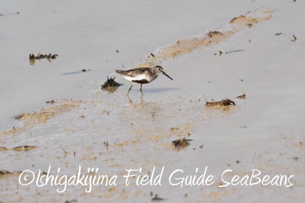8月17日石垣島バードウオッチング&野鳥撮影4