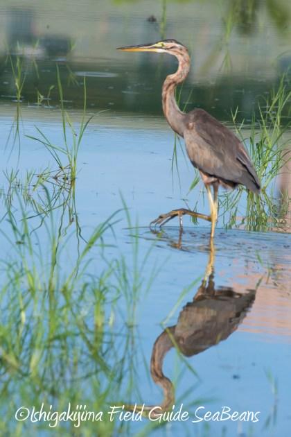 8月17日石垣島バードウオッチング&野鳥撮影1