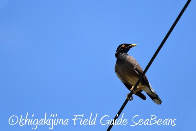 8月2日石垣島 バードウオッチング 野鳥撮影15