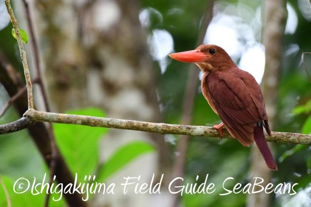 8月12日石垣島バードウオッチング&野鳥撮影4