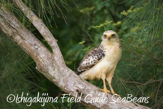 9月1日石垣島バードウオッチング&野鳥撮影ガイド12