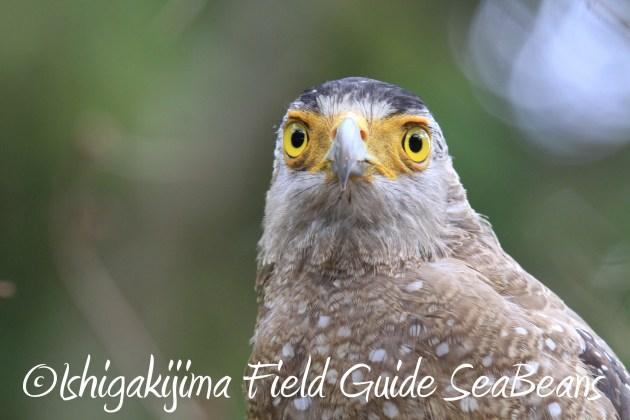 9月3日石垣島バードウオッチング&野鳥撮影ガイド14