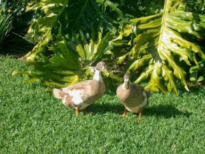 Ducks in grass