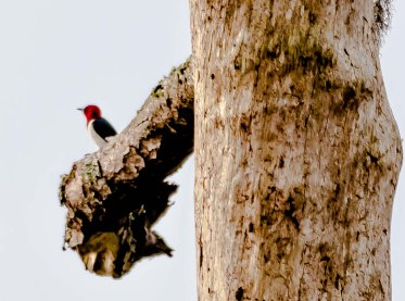 """Red-headed Woodpecker on the """"Eagle Nest Tree"""" to the left of the 3rd green on Ocean Winds - Charley Moore"""