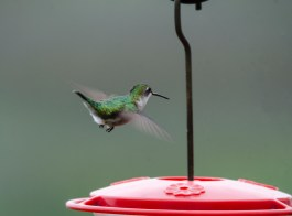 Female Ruby-throated Hummingbird - Bob Hider