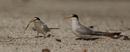 The male Least Tern presents a fish to his prospective mate - Ed Konrad