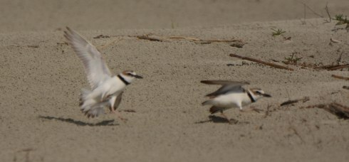 """Wilson's Plovers in a mating """"scuffle"""" on North Beach - Ed Konrad"""