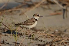 Wilson's Plover on North Beach - Ed Konrad
