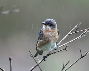 Female Eastern Bluebird in the rain - Bob Hider