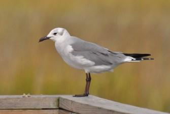 Laughing Gull in non-breeding plumage (Winter) - Ed Konrad