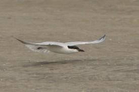 Gull-billed Tern on North Beach - Ed Konrad