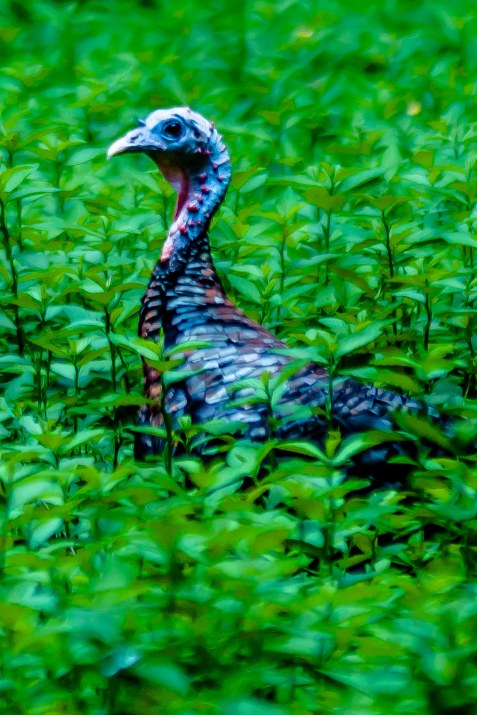 A turkey hen looking over a field of grass. C. Moore