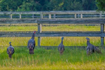 "A ""posse"" of Wild Turkey at the horse pasture - C Moore"