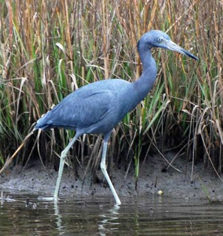 Adult Little Blue Heron - Bob Hider