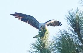 Mississippi Kite in pine above boat ramp - Dean Morr