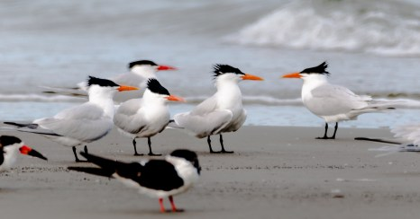 Royal Terns with Black Skimmer in foreground - Charles Moore