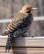 Northern Flicker Male (Yellow-shafted) Brown face with gray crown Black malar (moustache) (red in west) Barred upperparts and spotted underparts Red crescent on nape (absent in west) © fotobird1, Massachusetts, March 2007