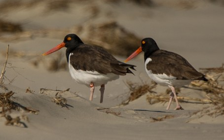 """American Oystercatchers on North Beach including our infamous """"U5"""" on the left - Ed Konrad"""