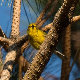 A beautiful Pine Warbler at the Equestrian Center - Ed Konrad