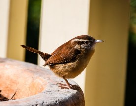 Carolina Wren at a birdbath - C Moore