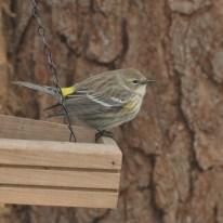 Yellow-rumped Warbler - Ed Konrad