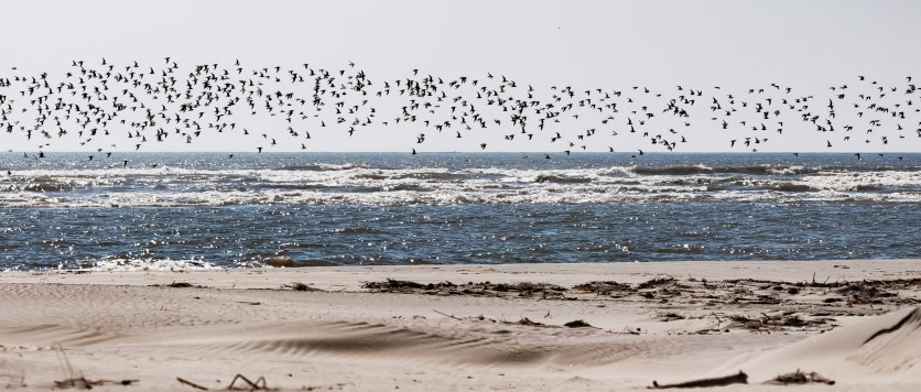 There go over 1000 Red Knots by Charley Moore