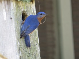 A male Eastern Bluebird bringing nesting material to his box - Nancy Brown