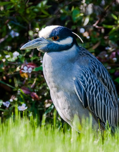 Adult Yellow-crowned Night-Heron - Charles Moore