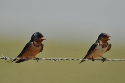 Barn Swallows - Ed Konrad