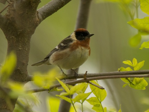 Bay-breasted Warbler, Magee Marsh - Ed Konrad