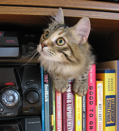 Female Siberian cat Calina on the bookshelf