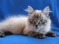 Siberian kitten Monte