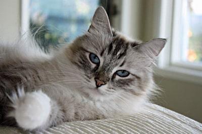 Mari - Female Siberian Cat