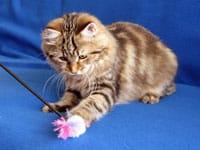 Siberian kitten Izabella