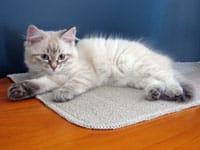 Siberian kitten Ksenia