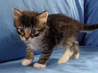 Siberian kitten Biko