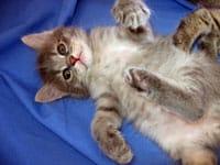 Siberian kitten Caci