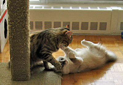 Siberian cats Calina and Harley debating