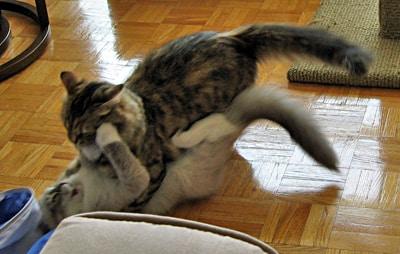 Siberian cats Calina and Harley arguing