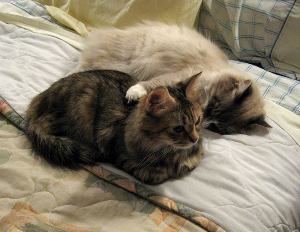 Siberian cats Calina and Harley cuddling