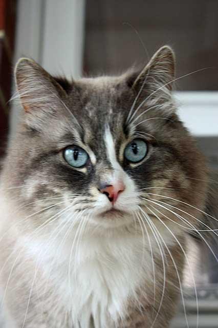 Siberian cat Harley