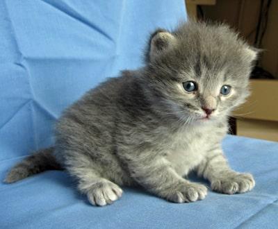Male Siberian kitten Elu