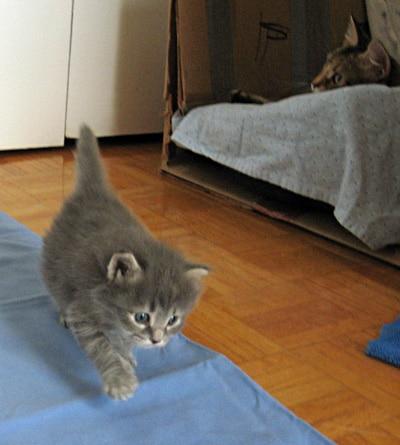 Siberian kitten Elu leaves the nest, Sept 4 2011