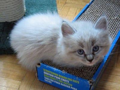 Siberian kitten Elmo
