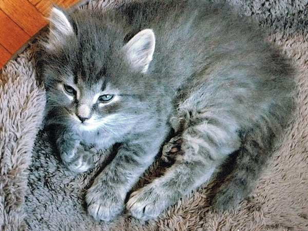 Siberian kitten Elu at 4 weeks old