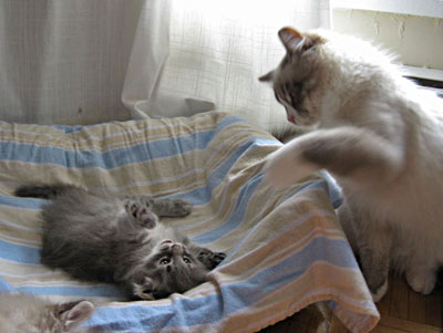 Siberian kitten Elu and 'Uncle' Harley ready to wrestle