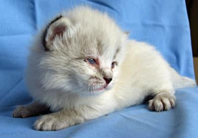 Male Siberian kitten Elmo