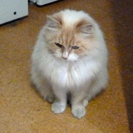 Siberian kitten Alfie at 3 years old, May 2015