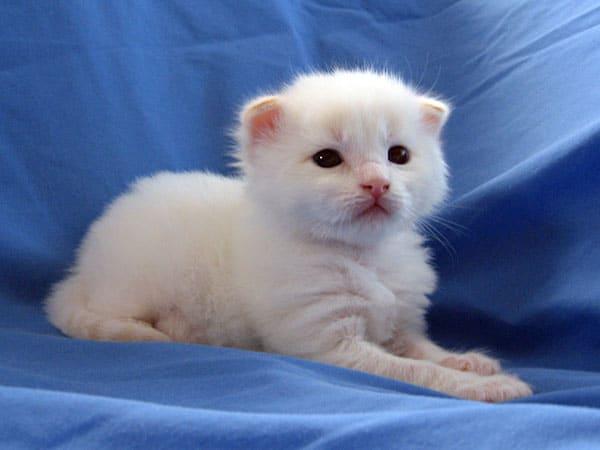 Siberian kitten Baxter at 17 days old